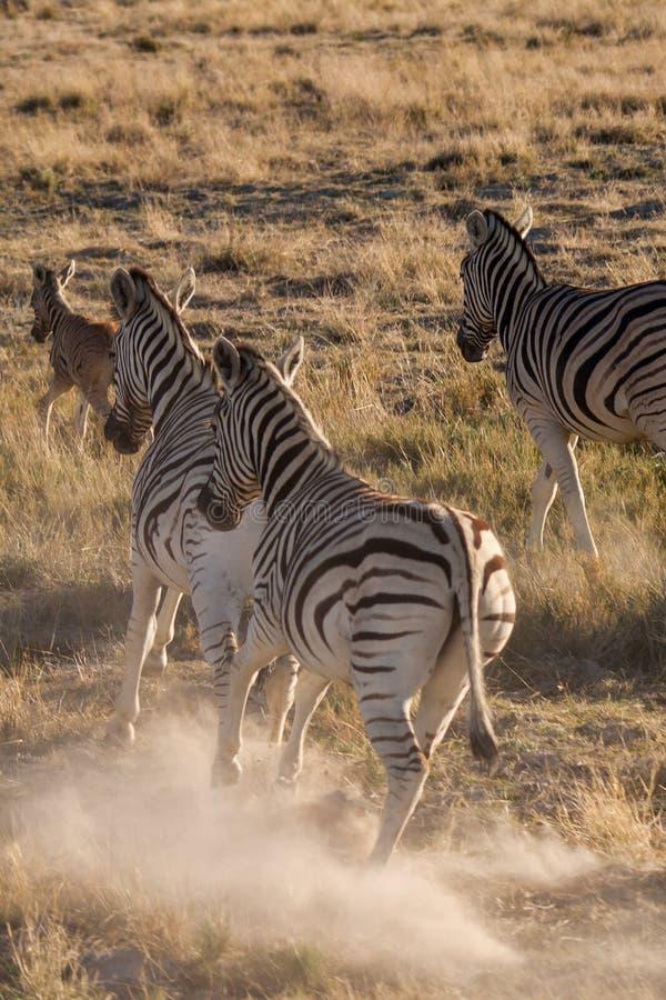Zebry Działające w sawannie Etosha park narodowy Daleko od, Namibia zdjęcie stock
