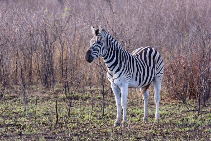 Zebry Equus kwaga zdjęcie royalty free