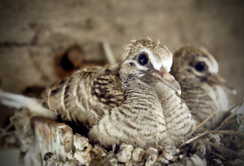 Zebry gołąbki dziecko na gniazdeczku zdjęcie royalty free