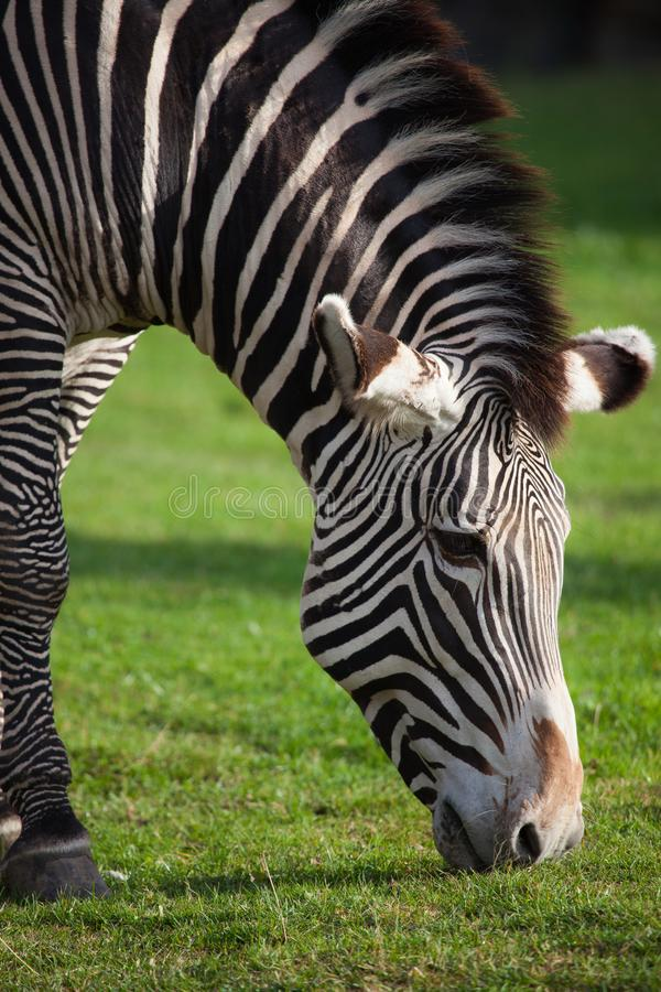 Download Zebry Headshot Pasanie Na Trawie Obraz Stock - Obraz złożonej z wzór, jeden: 106923041