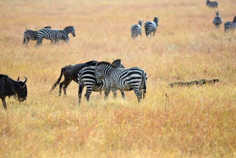 Zebry i wildebeest w Masai Mara, Kenja obrazy stock