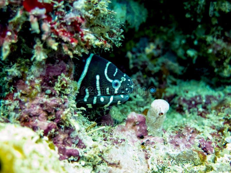 Zebry mureny węgorz chuje w rafie koralowej obrazy stock