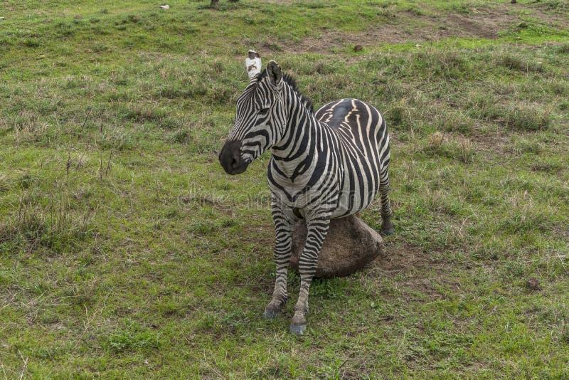 Zebry, Ngorongoro krater, Tanzania zdjęcie royalty free