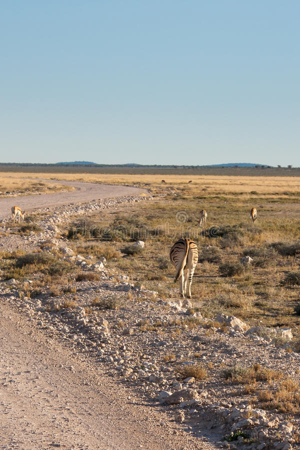 Zebry Pasa obok drogi w Etosha parku narodowym, Namibia obrazy royalty free