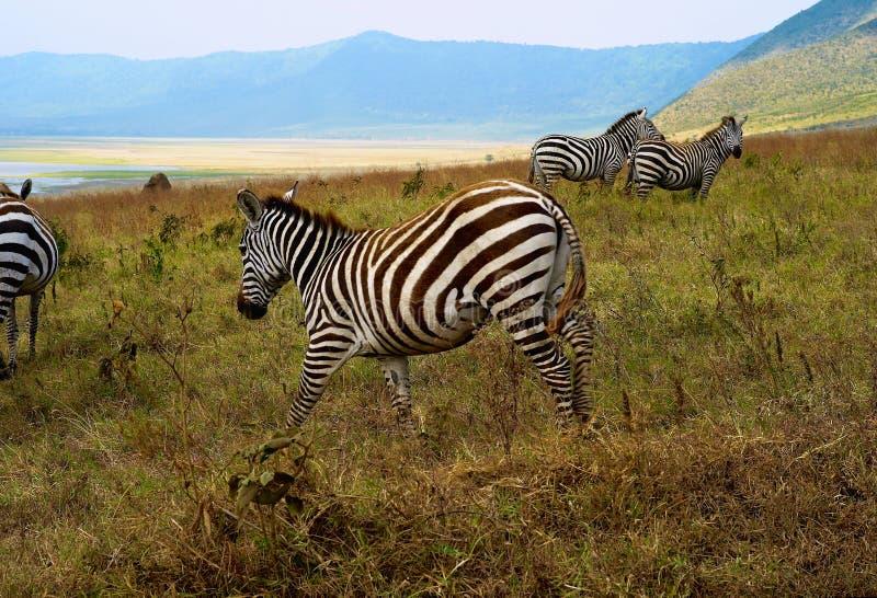 Zebry Pasa w Ngorongoro kraterze, Tanzania obrazy royalty free