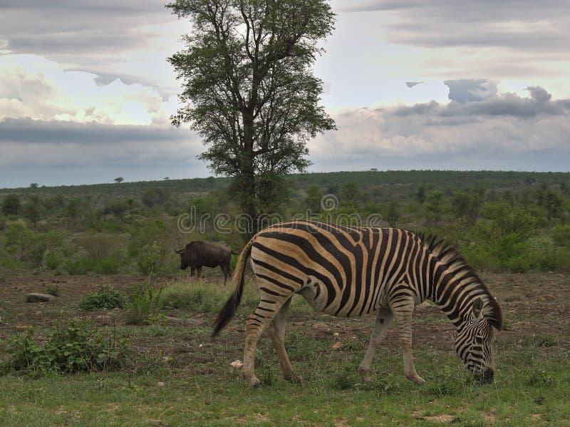 Zebry pasanie na chmurnym dniu w Kruger zdjęcie stock