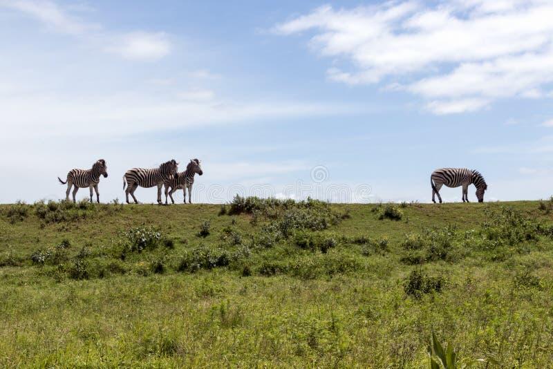Zebry pasanie na Zielonej trawy niebie i wzgórzu obraz royalty free
