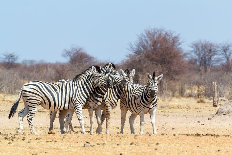 Zebry rodzina w afrykańskim krzaku fotografia royalty free