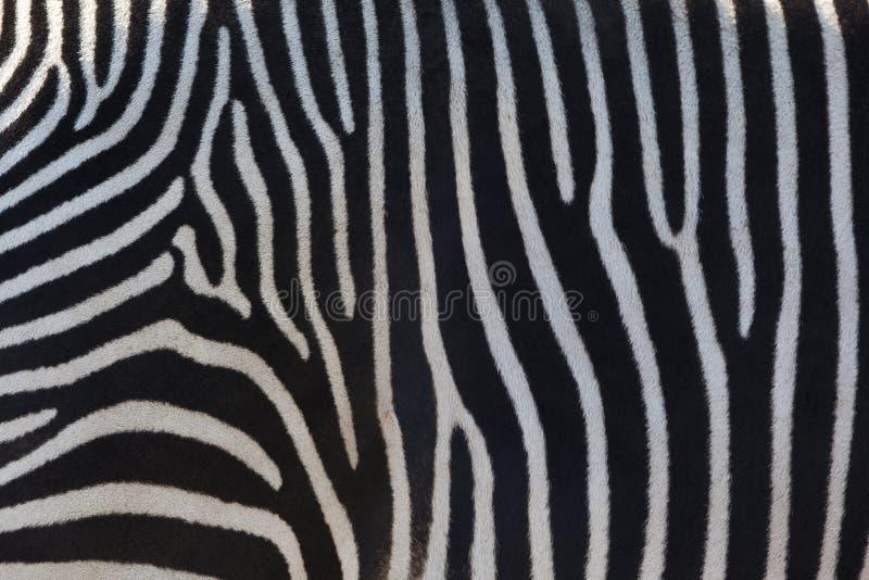 Zebry skóra zdjęcie stock