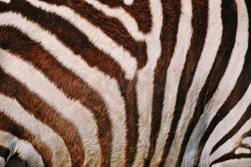Zebry skóra obrazy royalty free