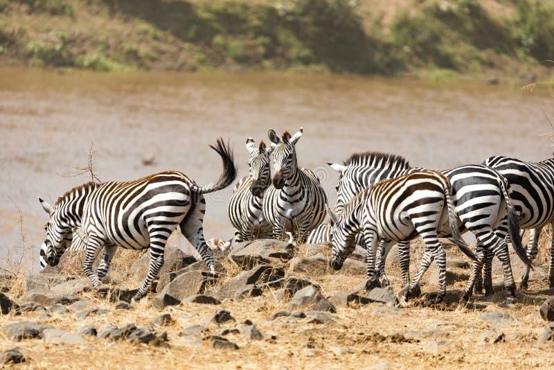 Zebry skrzyżowanie Mara rzeka obraz royalty free