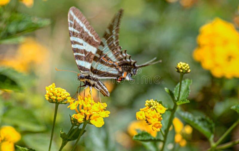 Zebry Swallowtail motyl na Żółtym Lantana kwiacie, Floryda fotografia stock