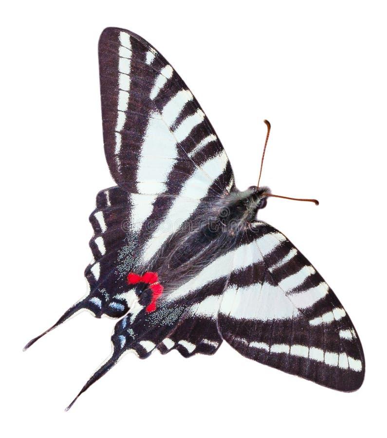 Zebry Swallowtail motyl Odizolowywający zdjęcie royalty free