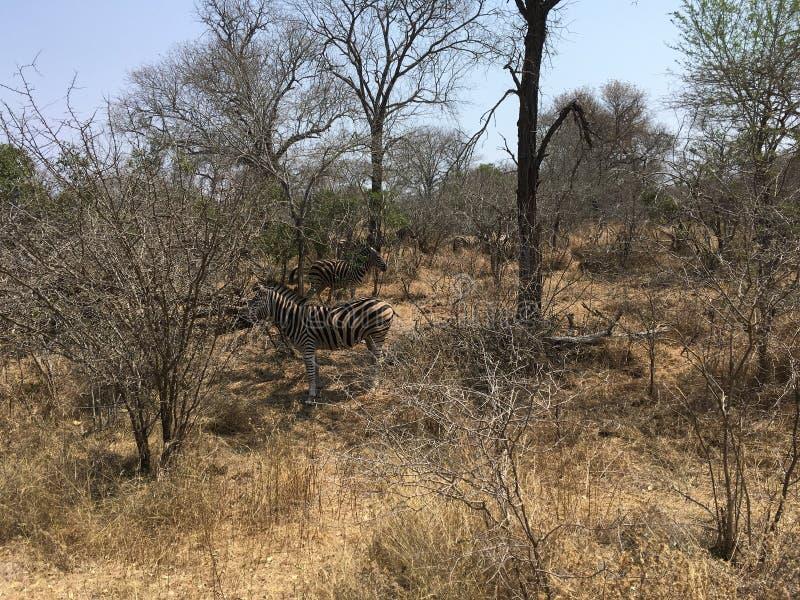 Zebry w SÃ ¼ dafrika - zebry w Southafrica fotografia stock