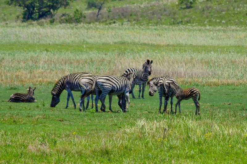 Zebry w sawannie Mozambik Afryka fotografia stock