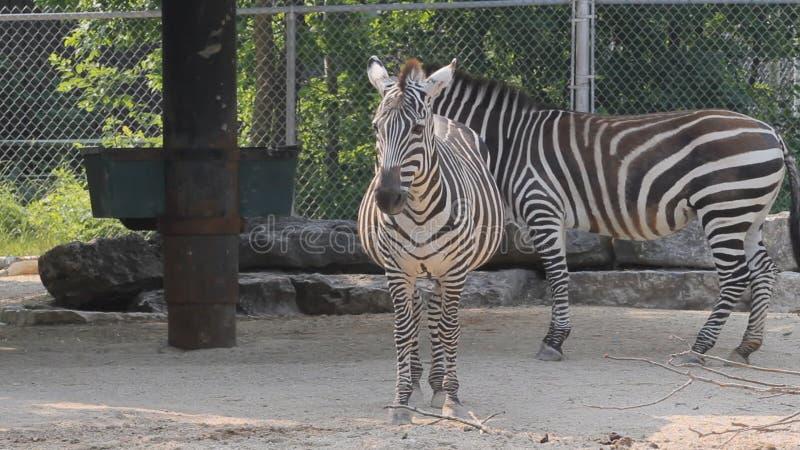Zebry w zoo zbiory
