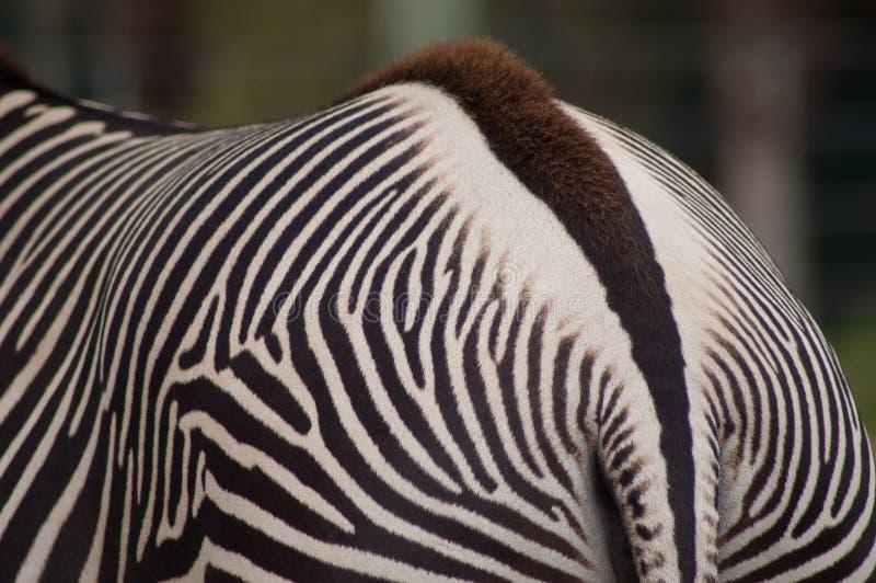 Zebry zbliżenie tylni końcówka i lampasy fotografia royalty free