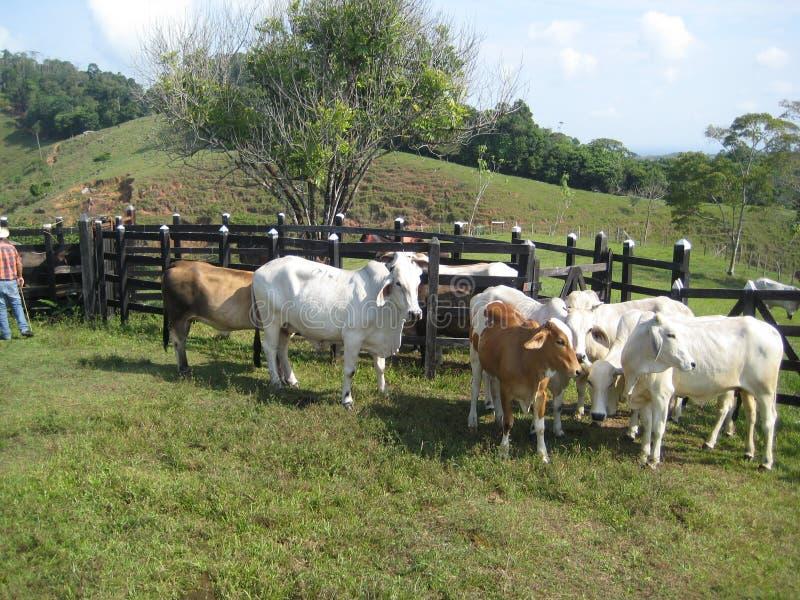 Zebu βοοειδή στοκ εικόνες με δικαίωμα ελεύθερης χρήσης