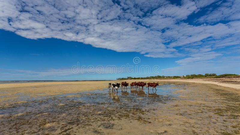 Zebu attraversa una laguna sulla spiaggia, Anakao, Nosy Satrana, Madagascar fotografie stock libere da diritti