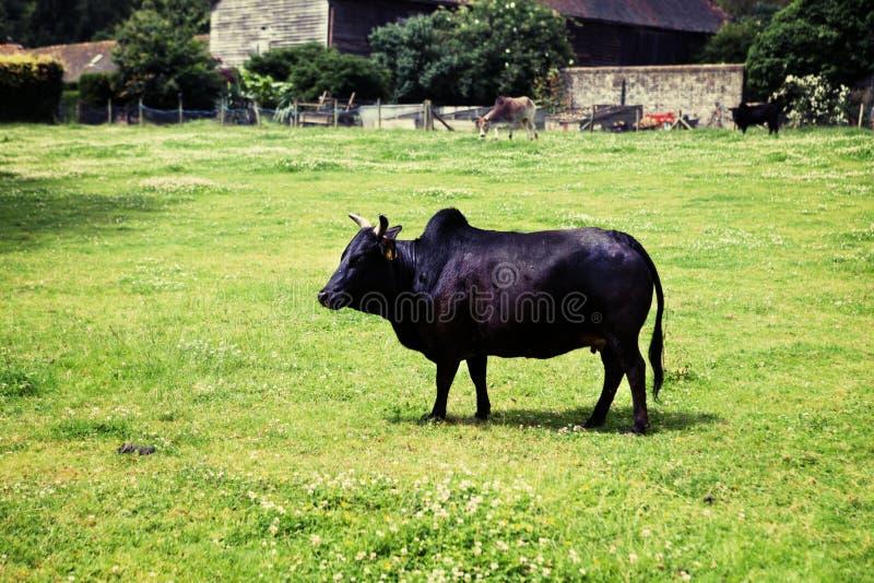 Zebu humped cattle brahmin cow. Zebu humped cattle or brahmin cow in field. black breed on grass royalty free stock photos