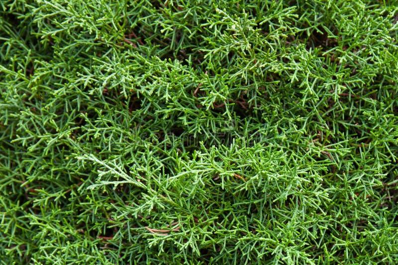 Zeder, grüner Hintergrund lizenzfreies stockfoto