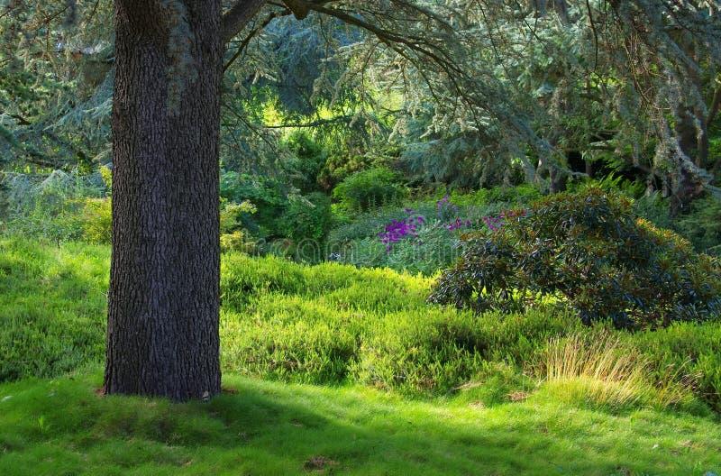 Zeder und Rhododendron lizenzfreie stockbilder
