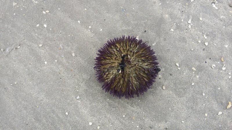 Zeeëgel in het zand van het strand royalty-vrije stock fotografie