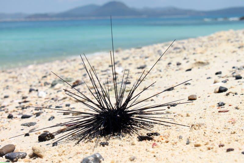 Zeeëgel op het zand dichtbij het strand stock foto