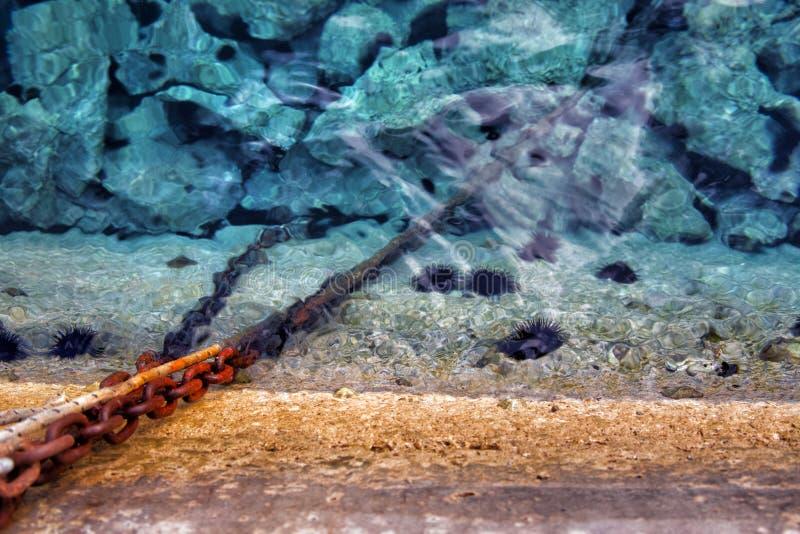 Zeeëgels bij de kust onder water stock afbeeldingen