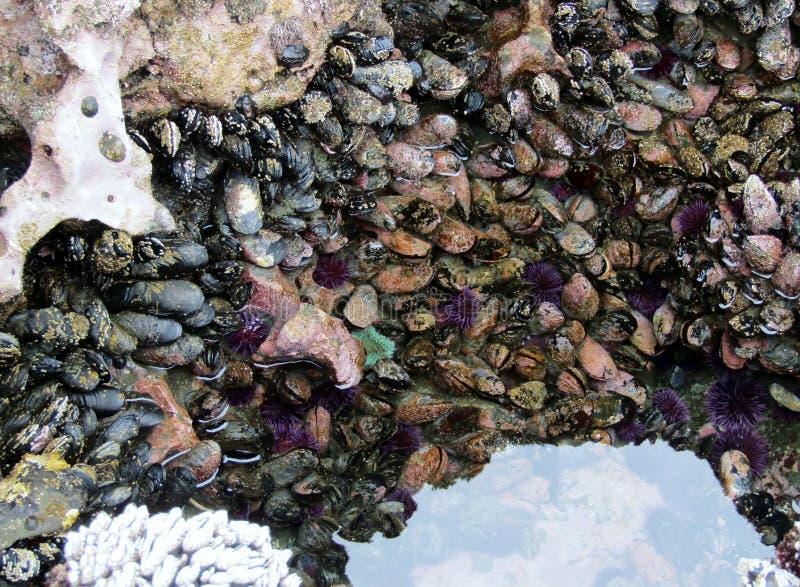 Zeeëgels, zeeanemonen mosselen bij Botanisch Strand in eb royalty-vrije stock foto's
