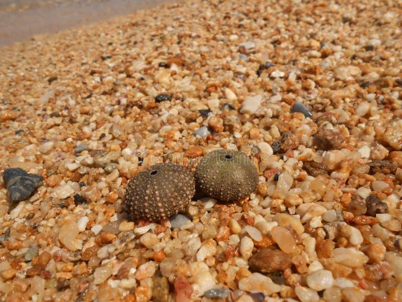 Zeeëgelshell op zand stock afbeelding