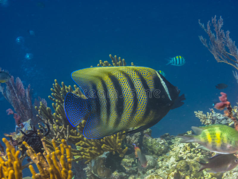 zeeëngel bij kleurrijk koraal stock afbeeldingen