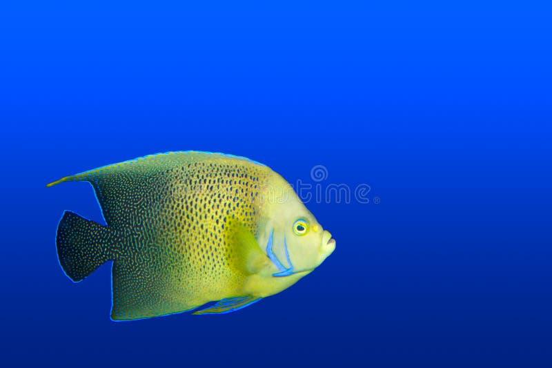 Zeeëngel in geïsoleerdg aquarium royalty-vrije stock fotografie