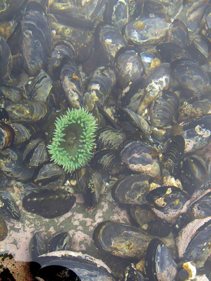 Zeeanemonen en mosselen bij bodem van getijdepool Botanisch Strand in eb, het Eiland van Vancouver, BC, Canada stock fotografie