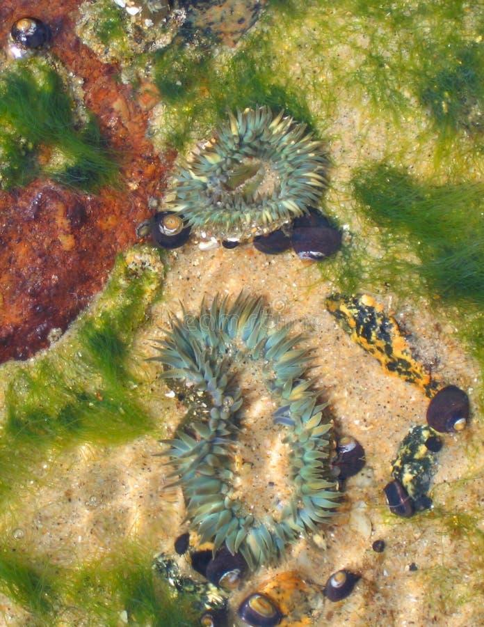 Zeeanemonen, getijdenpool, Monterey, CA stock afbeelding