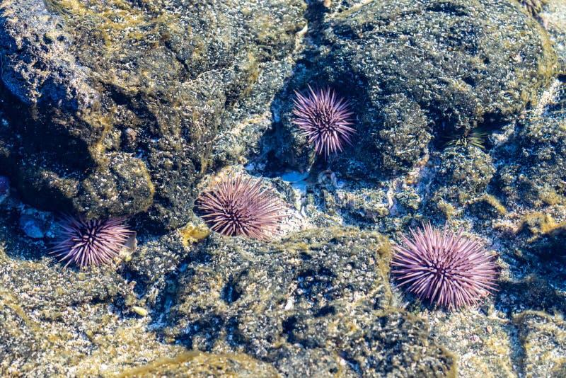 Zeeanemonen in getijdepool   stock afbeelding