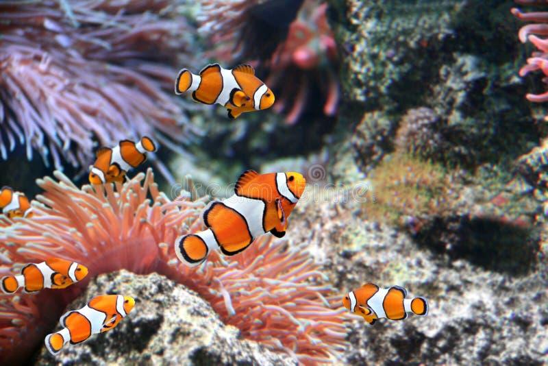 Zeeanemoon en clownvissen royalty-vrije stock fotografie
