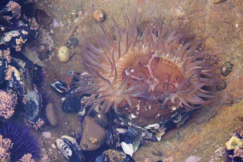 Zeeanemoon, zwarte spiershells, eendenmosselen en purpere zeeëgels tijdens eb bij het getijdenpools van Laguna Beachcalifornië royalty-vrije stock foto