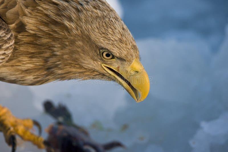 Zeearend volwassen; Wit-de steel verwijderde van Eagle-volwassene stock foto's