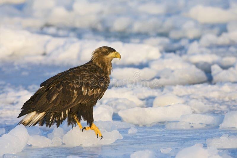 Zeearend, wit-De steel verwijderd van Eagle, Haliaeetus-albicilla royalty-vrije stock foto