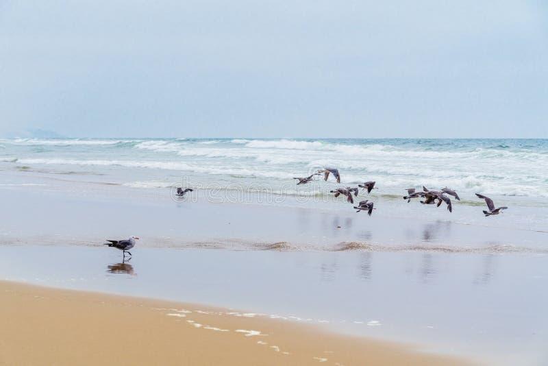 Zeegezicht, Donkere Dag Troep van Vogels op het Strand, Vreedzame Oceaan, Californië royalty-vrije stock afbeeldingen