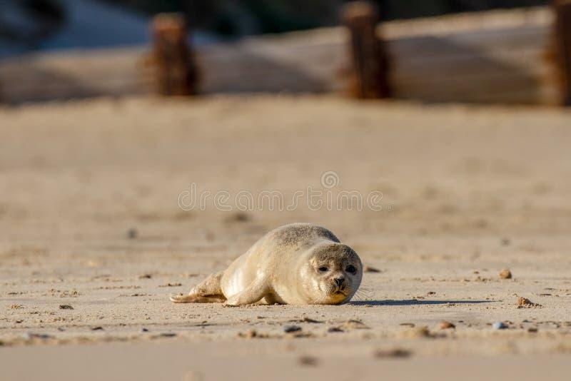 Zeehondejong op het strand als deel van de verbindingskolonie in Horsey, Norf royalty-vrije stock fotografie