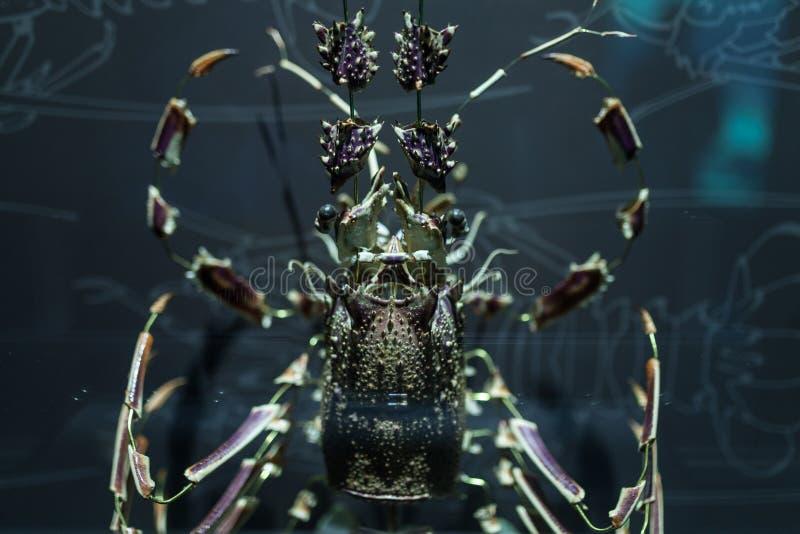 Zeekreeftshell die in het stukken Schaaldier mariene leven wordt ontmanteld stock afbeelding
