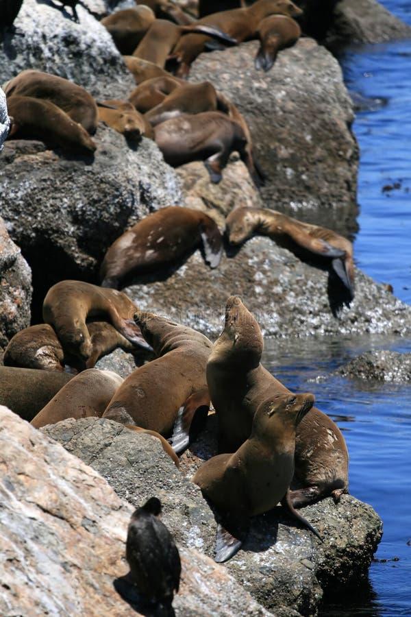 Zeeleeuw stock afbeelding