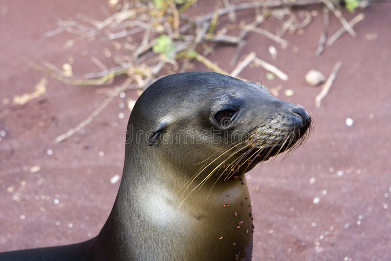 Zeeleeuw in de Eilanden van de Galapagos stock afbeeldingen
