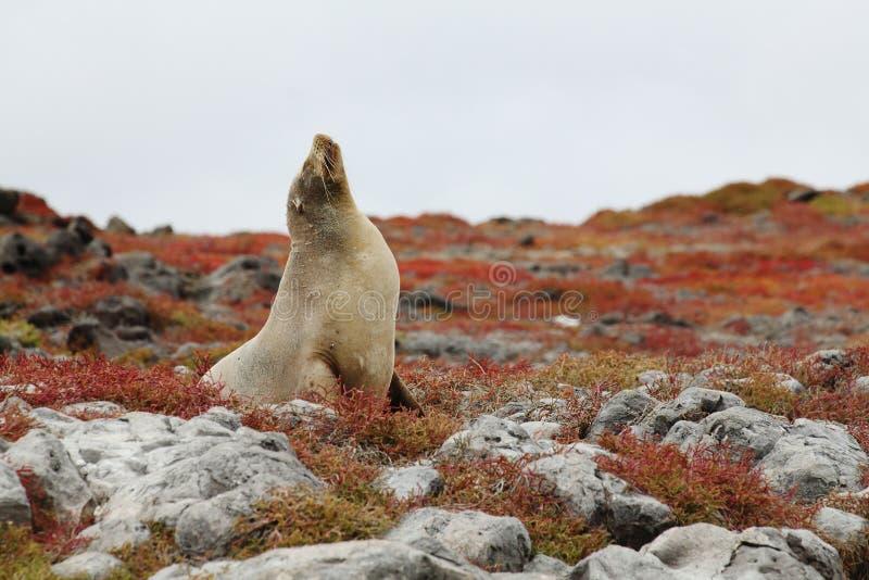 Zeeleeuw de Galapagos royalty-vrije stock afbeeldingen