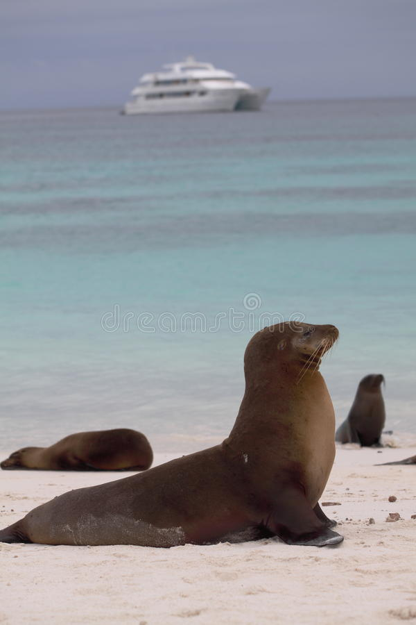 Zeeleeuw de Galapagos stock foto's