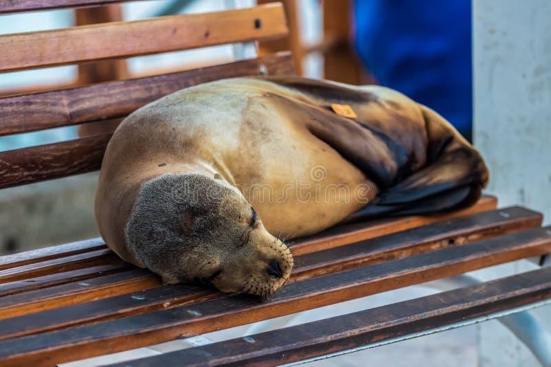 Zeeleeuw die een dutje nemen royalty-vrije stock foto