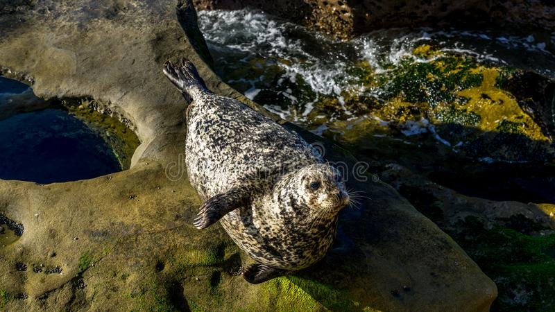 Zeeleeuw die op klippen rusten stock afbeeldingen