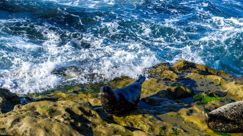 Zeeleeuw die op klippen rusten royalty-vrije stock foto